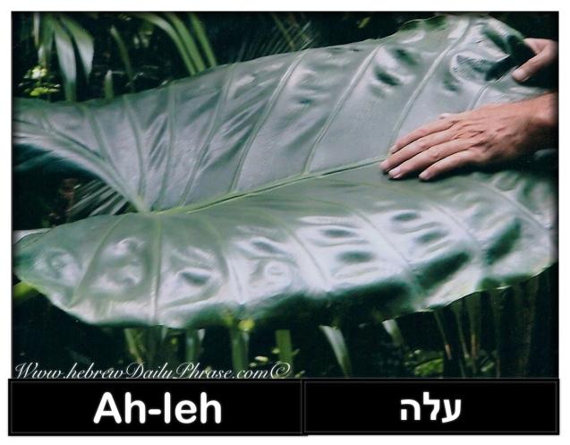 leaf - aleh עלה